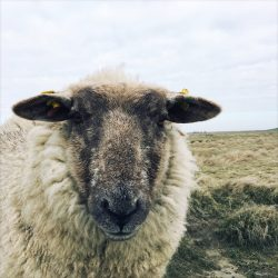 Sheep-4